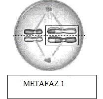 metafaz-1