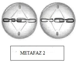 metafaz-2