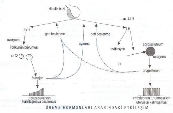 ureme-hormonlari
