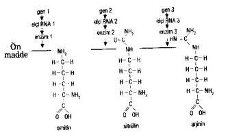bir gen bir enzim hipotezi