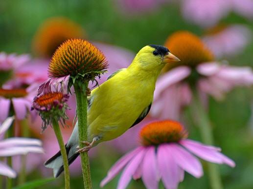 Çiçekler Neden Renkli ve Kokuludur?