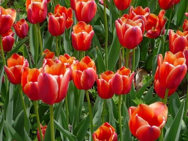 Lale: bahçede yetiştirme ve bakım
