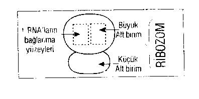 rna-cesitleri-protein-sentezi-1