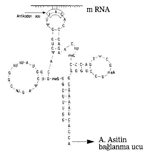 rna-cesitleri-protein-sentezi-2