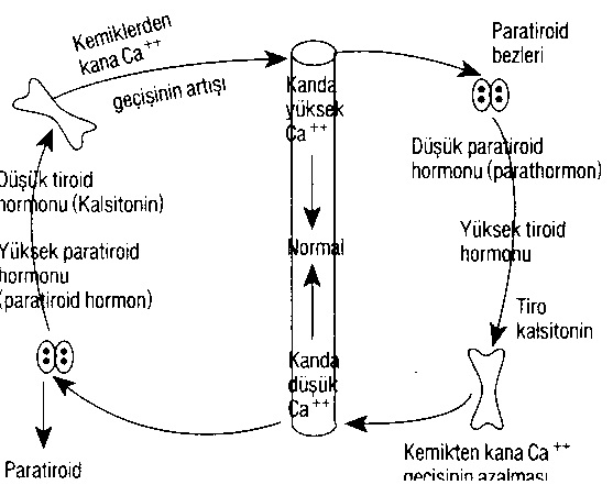 tiroid-paratiroid-etkilesimi