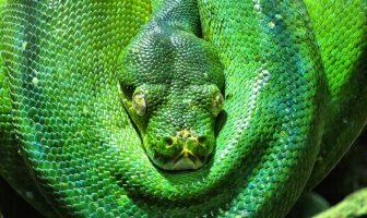 Yeşil Yılan