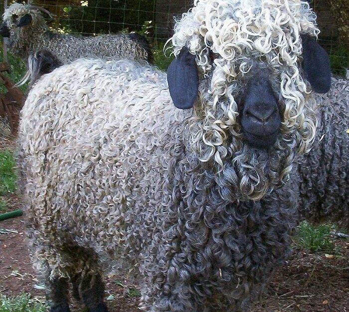 Ankara keçisi