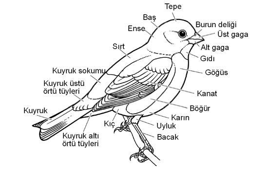 kus-anatomisi