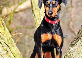 Alman Pinscher Cinsi Köpeklerin Genel Özellikleri, Hakkında Bilinmesi Gerekenler