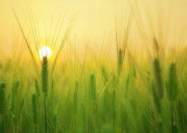 Türkiye'de Yetiştirilen Tahıllar Nelerdir? Nerelerde Yetiştirilir? Yetiştirildikleri Yerler
