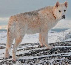 Grönland Köpeği (Husky) Cinsinin Genel Özellikleri, Hakkında Bilinmesi Gerekenler