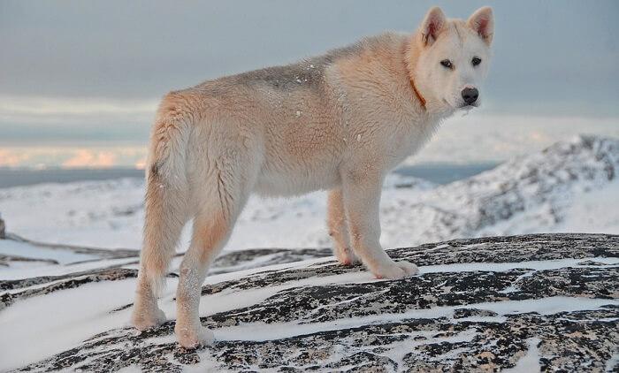 Grönland Köpeği (Husky)