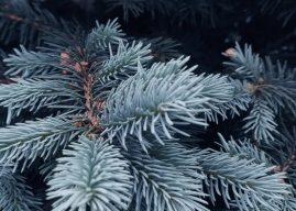 İğne Yapraklı Bitkiler ve Ağaçlar Özellikleri ve Türleri Hakkında Bilgiler