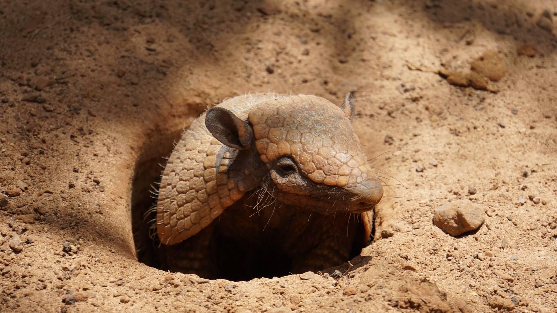 Armadillo : Amerika Kıtasına Özgü Fantastik Özelliklerde Bir Hayvan!