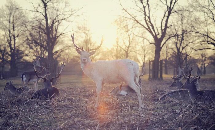 beyaz geyik