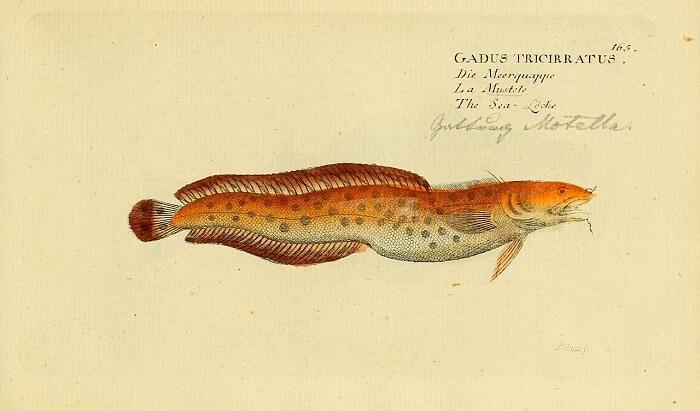 gelincik balığı