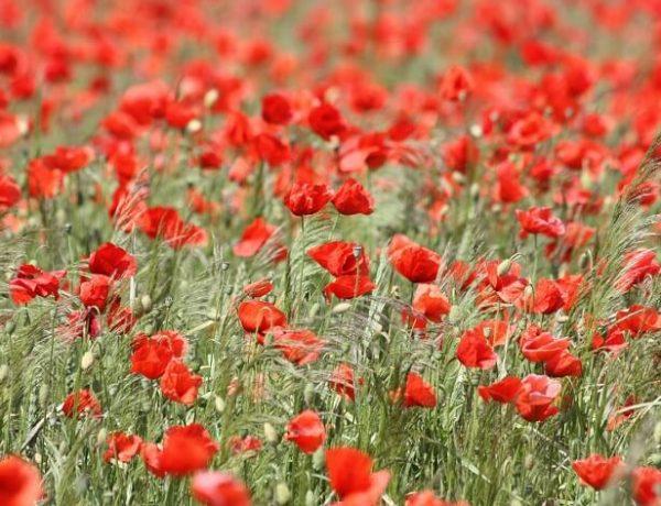 Gelincik Çiçeği Özellikleri ve Yetiştirilmesi