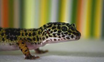leopar geko