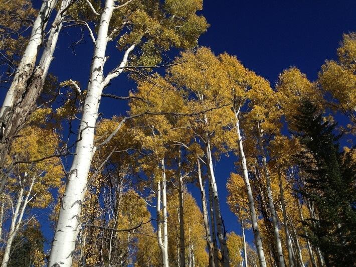 Kavak Ağaçları