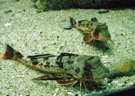 Kırlangıç Balığı Nasıl Bir Balıktır? Özellikleri Avlanması Tüketimi