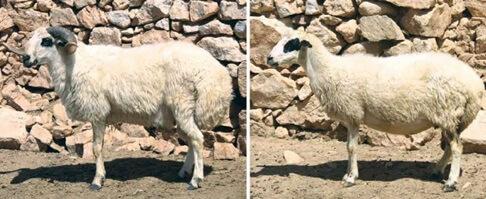 Dağlıç Koyunu
