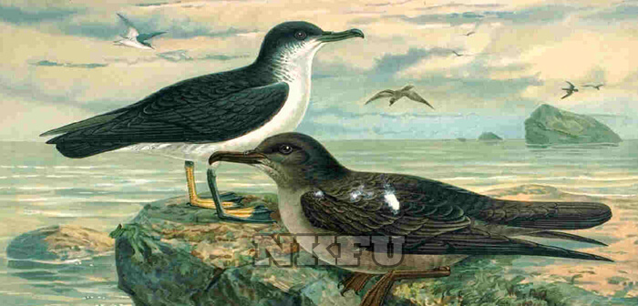 Yelkovan Kuşu