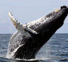 Balina Nasıl Bir Hayvandır? Balinaların Genel Özellikleri Nelerdir?