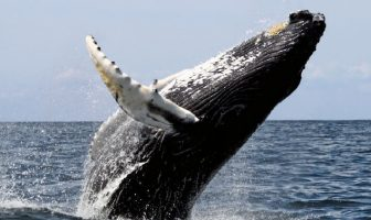 Dişsiz Balinalar