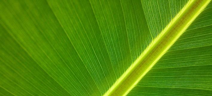 Muz Yaprağı