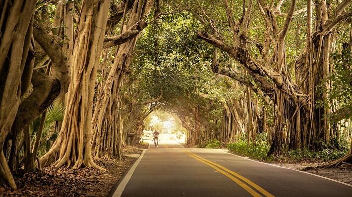 Banyan Ağaçları