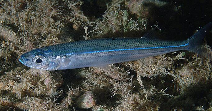 Gümüş Balığı (Atherina)
