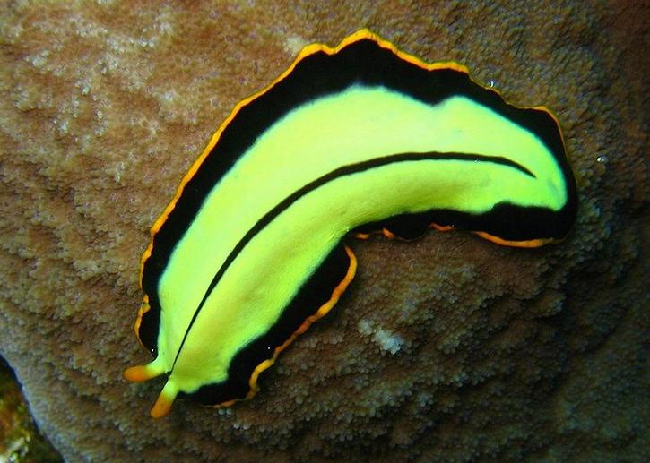 Bir Turbelar cinsi olan Pseudoceros dimidiatus