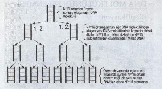 DNA Eşlenmesi