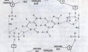 DNA Molekülünün Watson-Crick Modeli