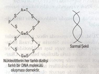 DNA Molkeül Modeli
