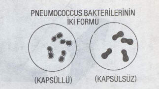 PNEUMOCOCCUS BAKTERİLERİNİN İKİ FORMU