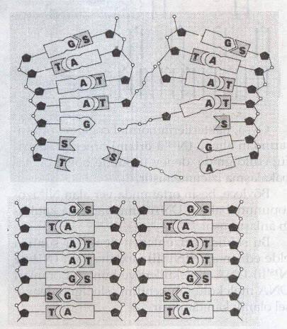 DNA Molekülünün Eşlenmesi (Replikasyon)