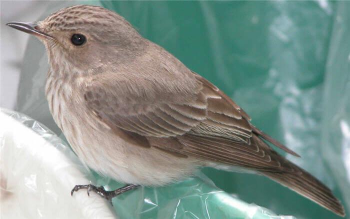 Sinekçil Kuşu (Sinekkapan - Sinekyutan)