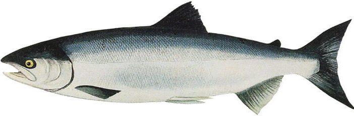 Som Balığı