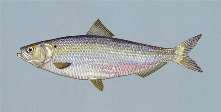 Ringa balığı