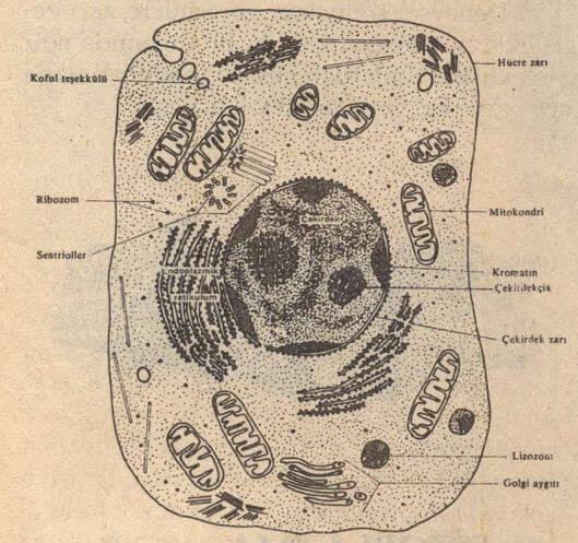sitoplazma