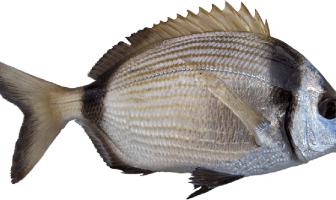Karagöz Balığı