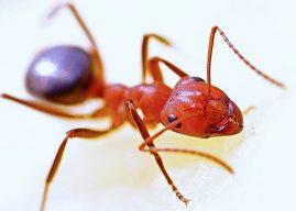 Karınca: Özellikleri Yapısı Çeşitleri Beslenme Üremesi Davranışları Savunması