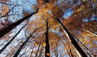 Kayın Ağaçları