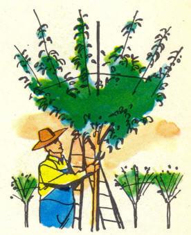 ağaç yetiştiricisi