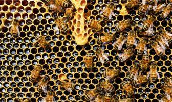 Bal Peteği : Bal yapan arılar
