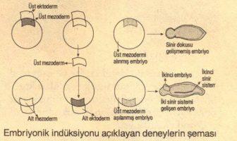 Embriyonik İndüksiyon
