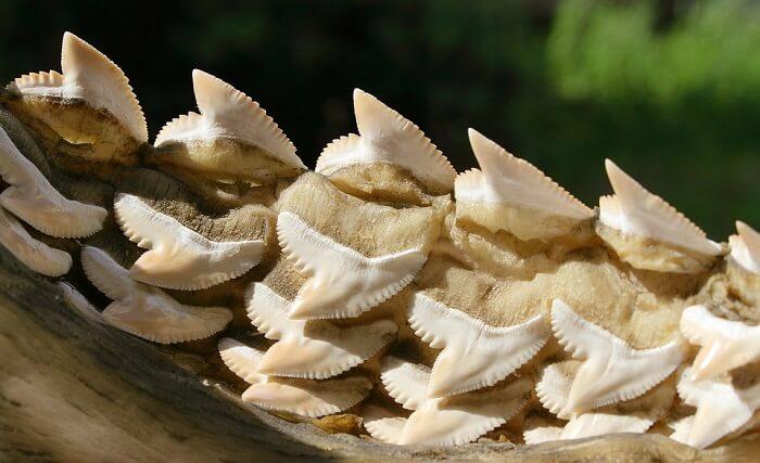 köpekbalığı dişleri