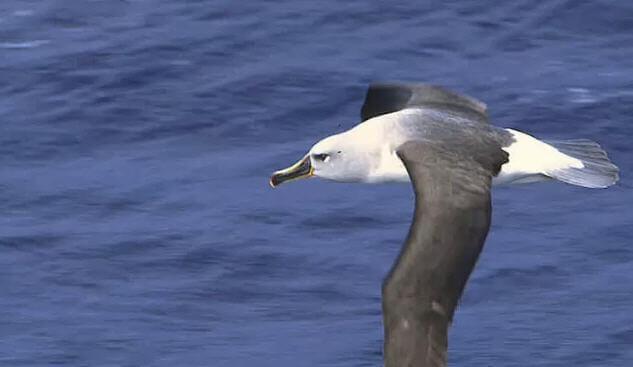 Gri Başlı Albatros