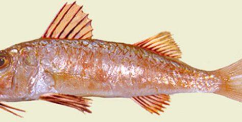 Barbunya Balığı Özellikleri Nelerdir? Babunya Hakkında Genel Bilgiler